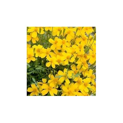 New Tagates Lucica - Marigold, MEXICAN MINT, Herb Spice 75 + Seeds ! : Garden & Outdoor