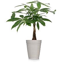 """Just Add Ice 401127 Money Tree Ocean Breeze Plant, 5"""" in Diameter, Beige"""