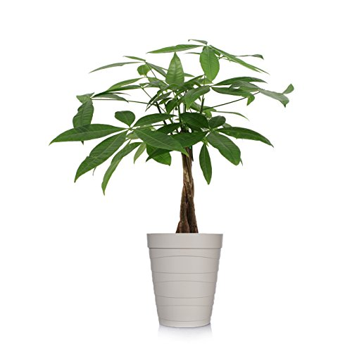 Just Add Ice 401127 Money Tree Ocean Breeze Plant, 5'' in Diameter, Beige by Just Add Ice