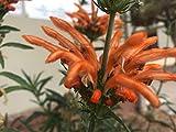 P111S. Leonotis leonurus Lion's Tail - 30 Seeds