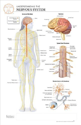 Buy 11 X 17 Post It Anatomical Chart Human Nervous System Online At