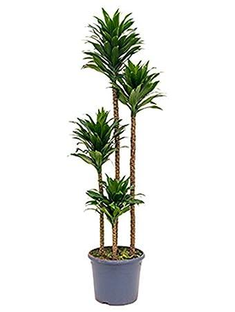 Drachenbaum Compacta Große Zimmerpflanze Wenig Licht Dracaena