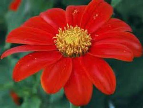 Torch Mexican Sunflower - Red Torch Mexican Sunflowers! 25 SEEDS!
