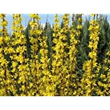 Lynwood Gold Forsythia (1-2 feet tall in gallon containers) Fast growing with yellow blooms in the spring