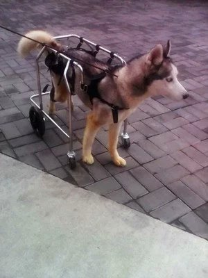 Paralysis Dog Wheelchair Large Puppy Crt Best Friend Mobility Dog Wheelchair (Paralysis Wheelchair)