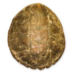 Snapping Turtle Shell (Natural Bone Quality A)