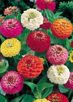 David's Garden Seeds Flower Zinnia Lilliput Mix D3658W (Multi Colored) 1000 Open Pollinated Seeds