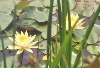 75 Teichpflanzen+ Seerose Jetzt Kaufen im Frühjahr ab April wird geliefert. 1,98 € pro Pflanze