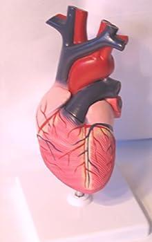 Heart Anatomical Model, Life Size