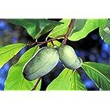 5 PAW PAW Tree Fruit Seeds (Indian Banana) Asminia Triloba
