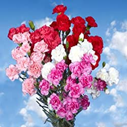 100 Fresh Cut Valentine's Spray Carnations | Fresh Flowers Express Delivery | Perfect Valentine's Day Gift
