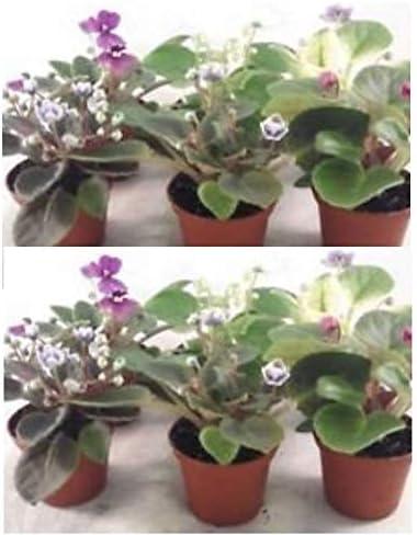 Amazon Com Miniature African Violet 5 Plants 2 Pot Garden