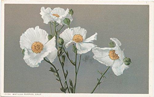 1898 Fine Art - Historic Pictoric Postcard Print | Matilija Poppies, California, 1898 | Vintage Fine Art