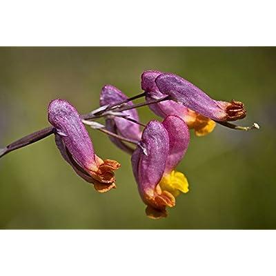 50 ROCK HARLEQUIN Pink & Yellow Corydalis Sempervirens Flower Seeds : Garden & Outdoor