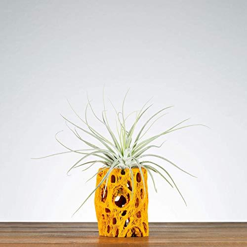 Orange Cholla Air Plant Holder, Indoor Planter, Plants for Desks, Shelf Plants, Air Plants, Air Plant Displays, Unique… 3