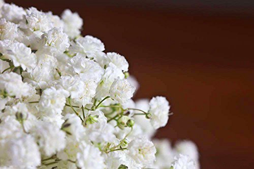 Gypsophila Paniculata 30 Seeds Mixed Gypsophila Paniculata L. Fowering Seeds for Planting Outside Door for Home Garden Yard Decoration