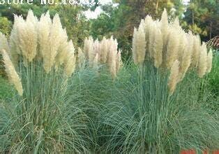 グリーン:新鮮50粒/パック、ピンクパンパスグラスCortaderia Selloana観賞用芝生草