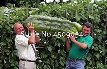 Potseed . 100 Piezas Gigante Japonesa del Pepino Pepino Mini ...