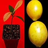 Garcinia Brasiliensis - Superior Lemon Drop Mangosteen Tropical Fruit Tree Plant