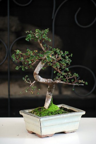 Chinese Elm Bonsai Tree by 9GreenBox.com