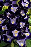 Torenia Kauai Deep Blue 250 seeds