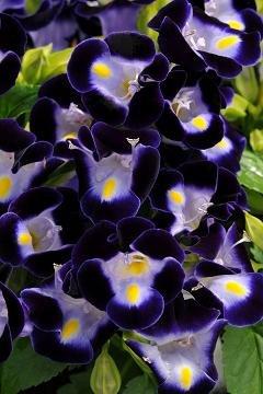 Torenia Kauai Deep Blue 250 seeds