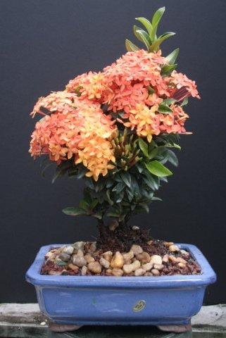 Large Ixora Petite Orange Bonsai Tree by Sheryls Shop