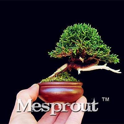 50PCS Mini Juniper Bonsai Tree Bonsai Potted Flowers Office Bonsai Purify The Air Absorb Harmful Gases DIY Garden - (Color: 3): Garden & Outdoor