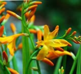 (2) Spectacular Orange & Yellow Masonorium Crocosmia Lily Blooming Size Bulbs for Beautiful Flowers in Your Garden - Sale
