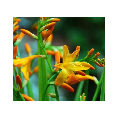 (3) Spectacular Orange & Yellow Masonorium Crocosmia Lily Blooming Size Bulbs for Beautiful Flowers in Your Garden - Sale hot sale