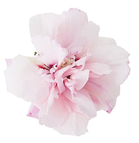 Sugar Tip Rose of Sharon (Hibiscus) Live Shrub, Light Pink Flowers and Variegated Foliage, 1 Gallon by Proven Winners (Image #5)