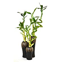 9GreenBox - Live Spiral 3 Set Style Lucky Bamboo Plant Arrangement w/3 Set Ceramic Vase