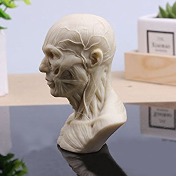 Human Model Anatomy Skull Head Muscle Bone Medical Art For The ...