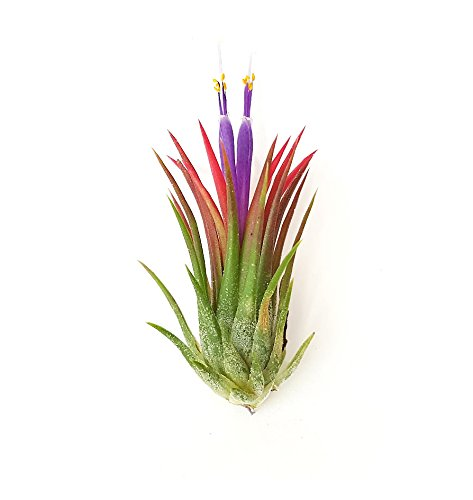 The Drunken Gnome Air Plants Ionantha Rubra EASY CARE AIR PURIFYING HOUSE PLANTS FOR FAIRY GARDEN STARTER KIT, LIVE TERRARIUM, VIVARIUM, INDOOR GARDEN, OFFICE OR ENCHANTED GARDEN, BULK WHOLESALE
