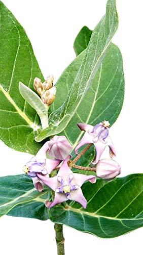 10 Seeds Blue Crown Flower Important to Monarch Butterflies Purple White Blossoms Calotropis gigantea