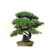 1Bag=100pcs hot sale CHINESE PINUS seeds rare mini pine tree seeds clean air seeds bonsai decoration Home & Garden