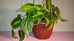 """Heart Leaf Philodendron - Easiest House Plant to Grow - 4"""" Pot Hanging Basket-jmbamboo"""