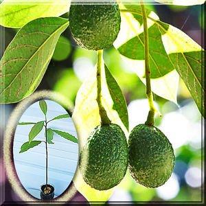 persea-americana-hass-avocado-tree-alligator-lauraceae-a-plant-root