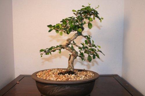 LOU'S BONSAI NURSERY IMPORTED FUKIEN TEA BONSAI TREE