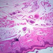 Human Skin Showing Sweat Glands Microscope Slide by Carolina Biological Supply Company