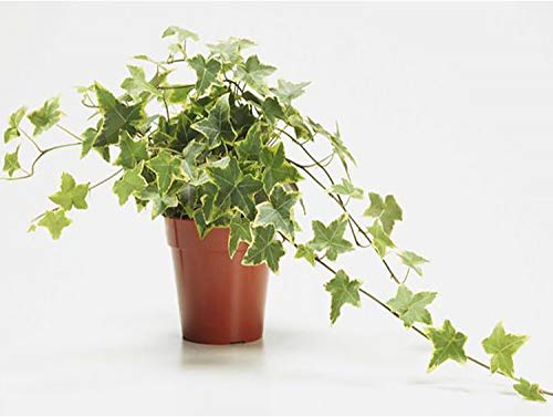"""AMERICAN PLANT EXCHANGE Variegated English Ivy Trailing Vine Live Plant, 6"""" Pot, Indoor/Outdoor Air Purifier"""