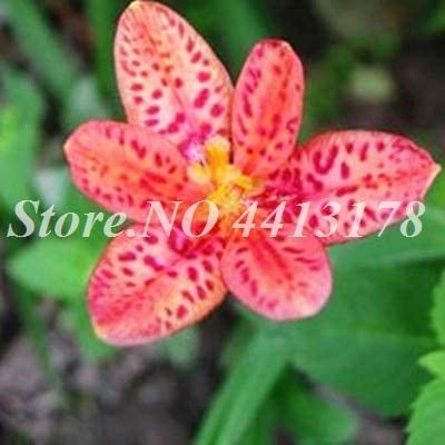 AGROBITS 300 PC/bolso exótico Bonsai en maceta sapo lirio planta de exterior florecientes aromáticos Lilum de flores adornos para el hogar Jardín fácil de cultivar: 6: Amazon.es: Jardín