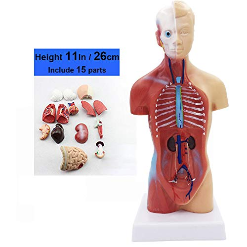 15 Parts Primary and Secondary School Education of 26cm Torso Model Human Anatomy Organ Structure Model