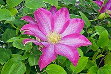 Clematis Pink Champagne,( 2 Bare Root/rhizome),flowered Vine,Now Shipping ! by CaribbeanGarden