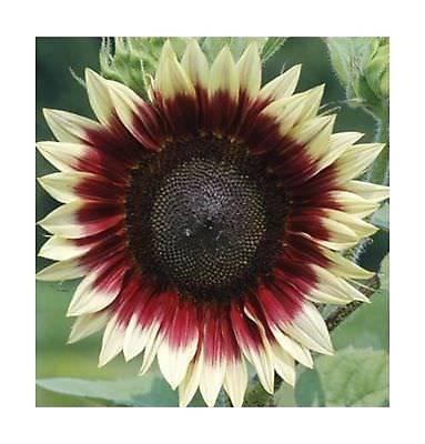 Sunflower Strawberry Blonde DGS1744OP (Multi) 25 Hybrid ... (Blonder Home Sunflowers)