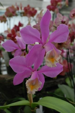 1 blühfähige Orchidee der Sorte: Cattleya harrisoniae, 12-14cm Topf
