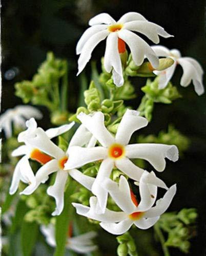 Nyctanthes Arbor tristis Gallon Plant