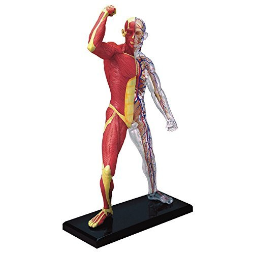 Human Muscles Skeleton (TDOU 4D Vision Human Anatomy - Human Muscle and Skeleton Model of The Body with 4 Dimensional Model)