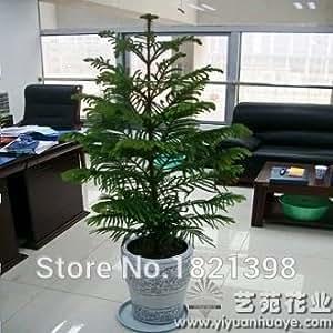 50 Araucaria seeds outdoor plants Refreshing Bonsai seeds Foliage Plants tree seeds