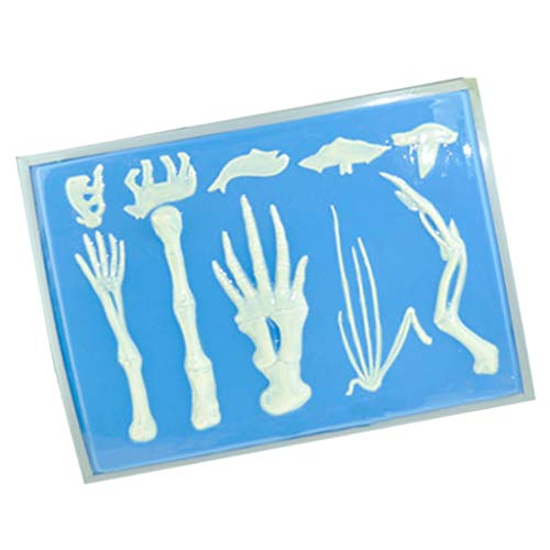 Flameer Vertebrate Forelimb Skeleton Bone Model Biology Teaching Visual Aid Decor ()